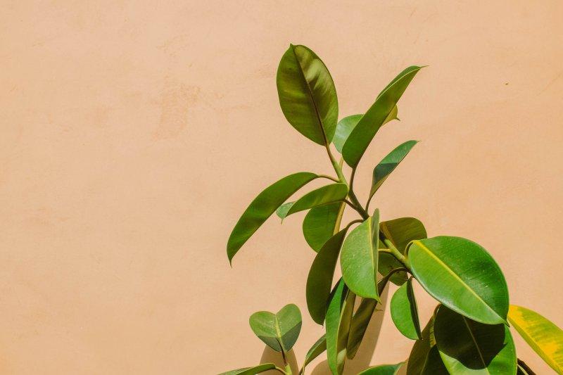 Kautschuk Pflanze vor einem beigen Hintergrund