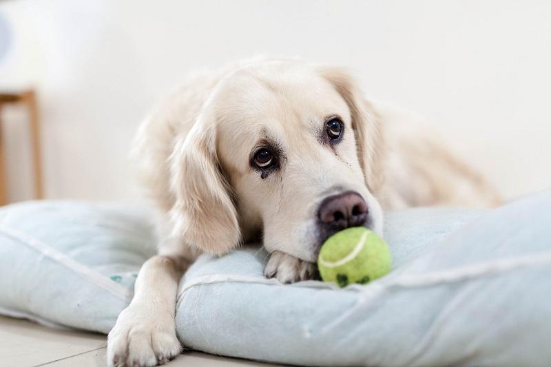 Hund mit einem Tennisball