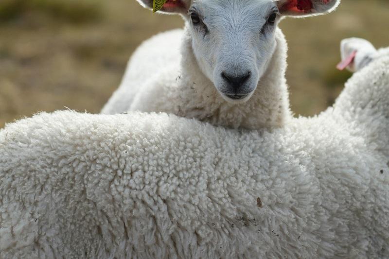 Zwei Schafe nebeneinander