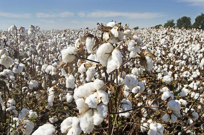Feld voller Baumwolle