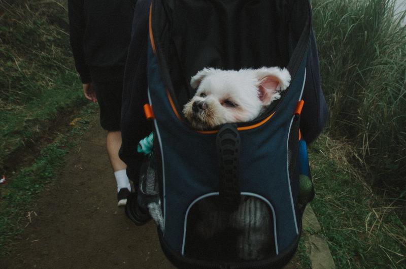 Müder Hund in einem Rucksack.