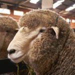 Das Merinoschaf ist bekannt für seine hochwertige Merinowolle