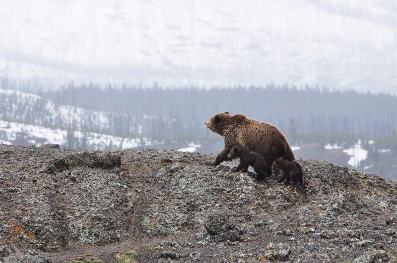 Grizzlybärenmutter mit Jungen