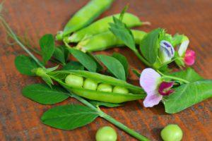 Frische Erbsen mit Blüten vor der Verarbeitung zu Erbsenprotein