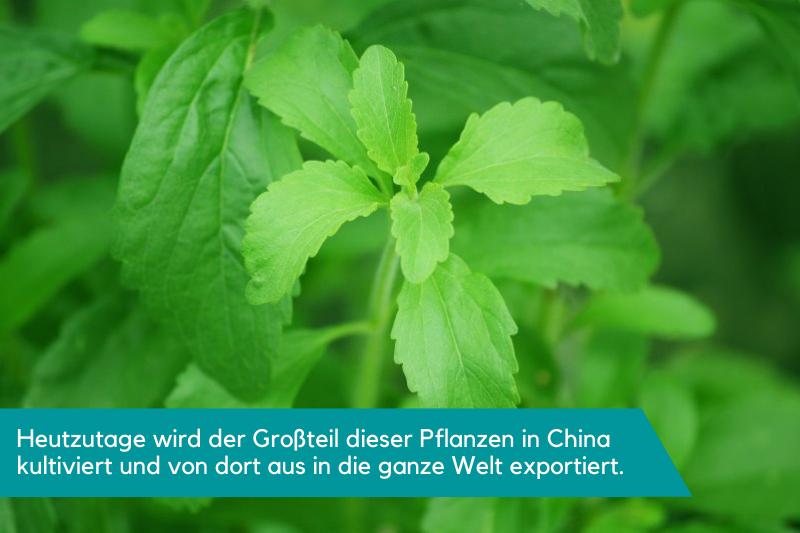 Eine Stevia-Pflanze mit ihren grünen Blättern