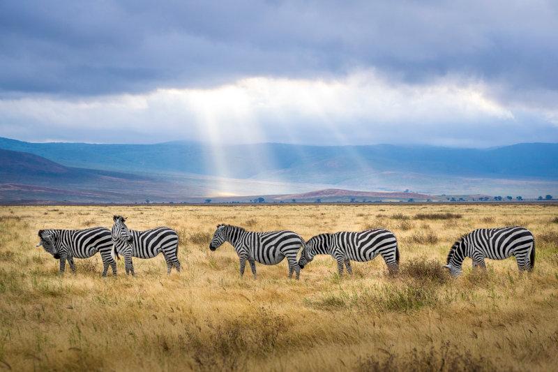 Zebras in der Steppe