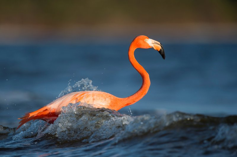 Ein Flamingo nimmt sich eine Abkühlung im Meer.
