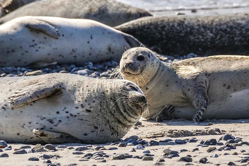 Seehunde sonnen sich am Nordeestrand und sehen dabei sehr entspannt aus.