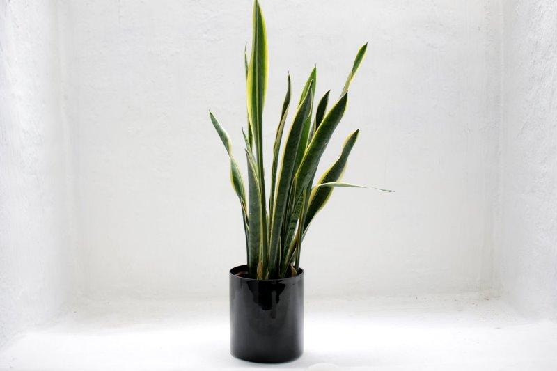 pflegeleichte Zimmerpflanze Bogenhanf