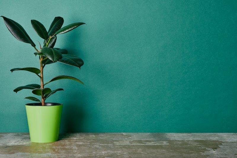 Gummibaum in grünem Topf