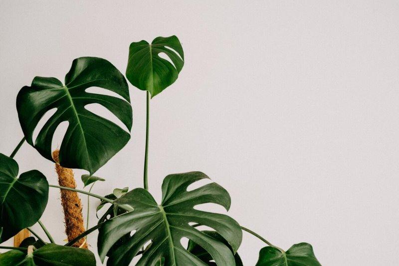 pflegeleichte Zimmerpflanze Monstera