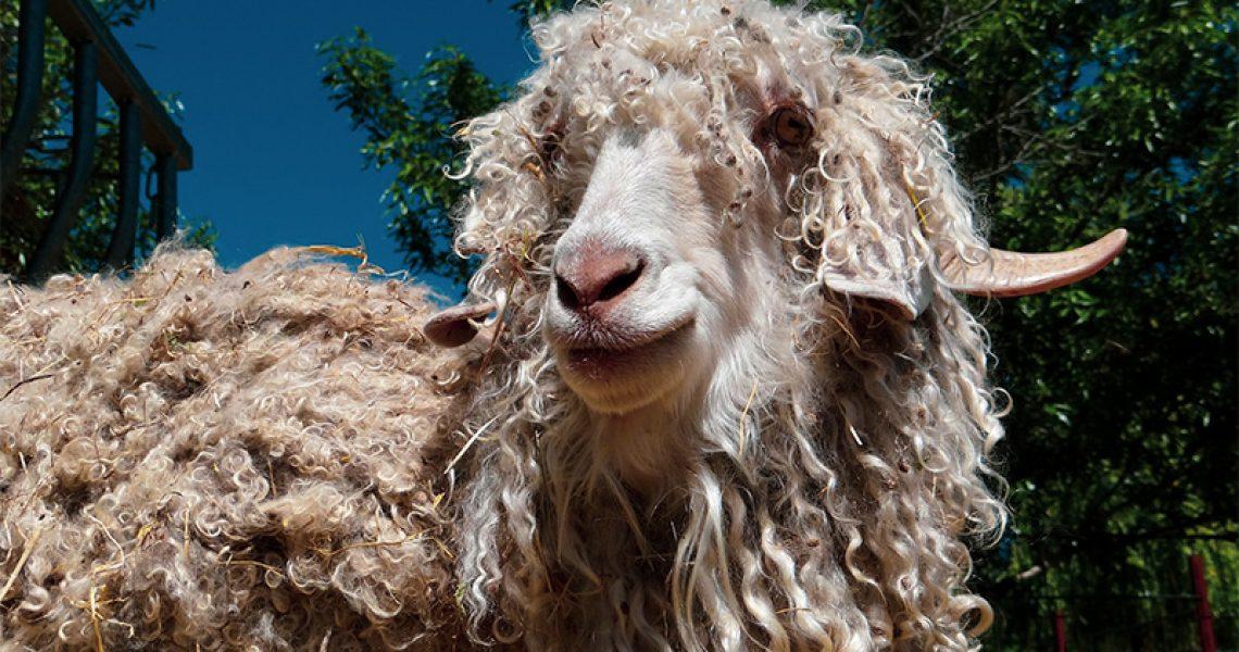 Mohair Wolle von einer Mohair Ziege